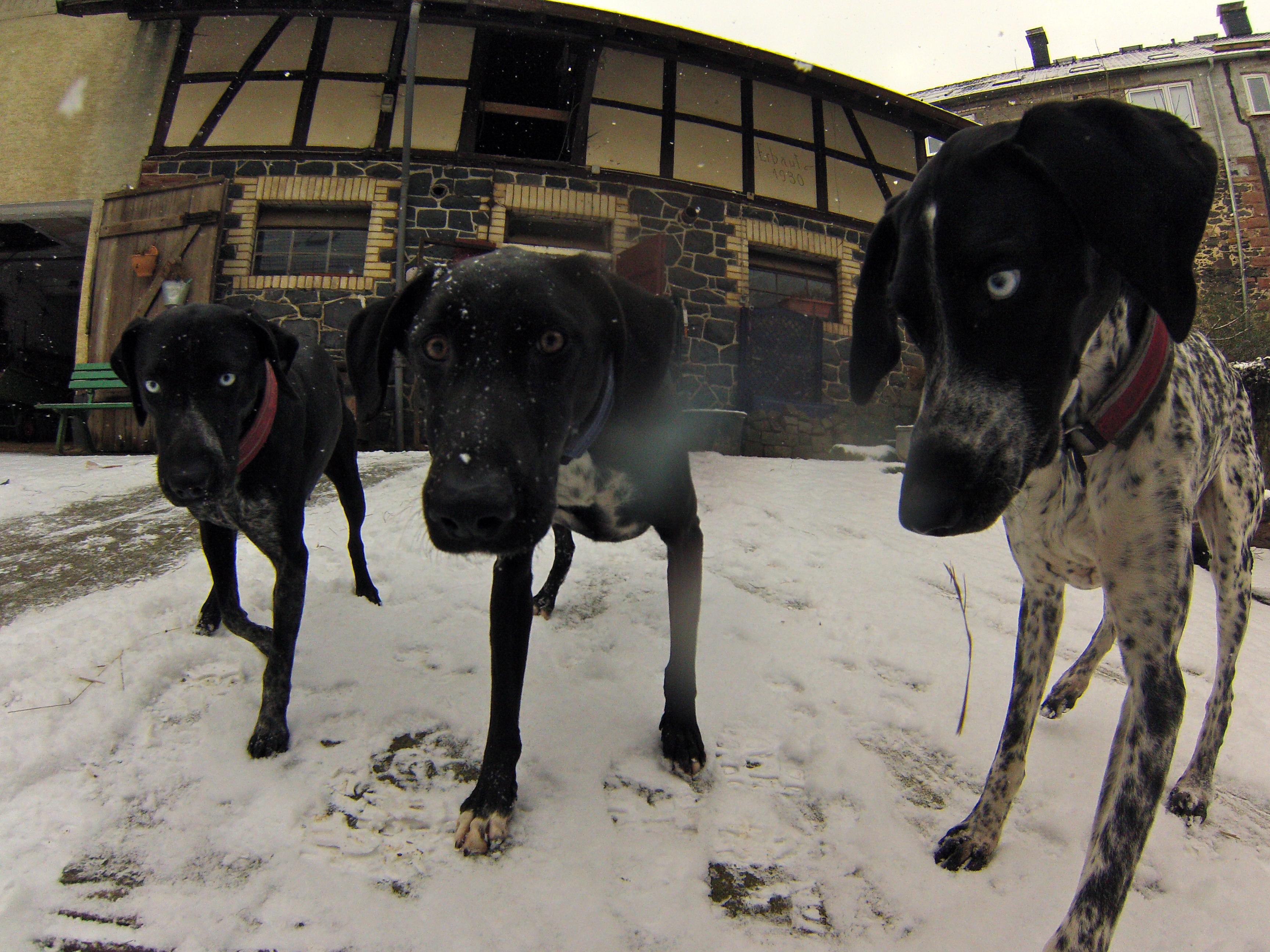 Hounds auf der Suche nach Schnee